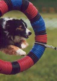 Collie in Tire Jump